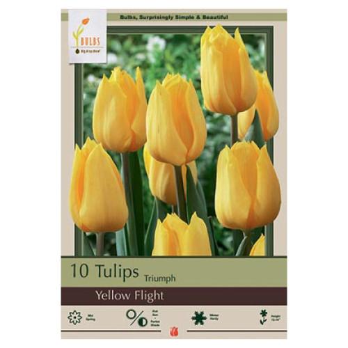 Tulip 'Yellow Flight'