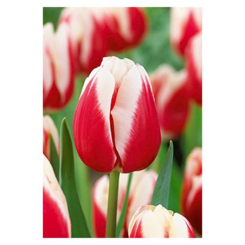 Tulip 'Markant'