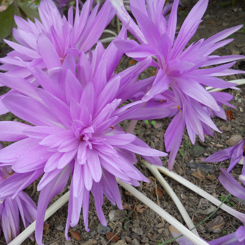 Colchicum 'Water Lily'