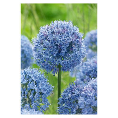 Allium azureum 'Caeruleum'
