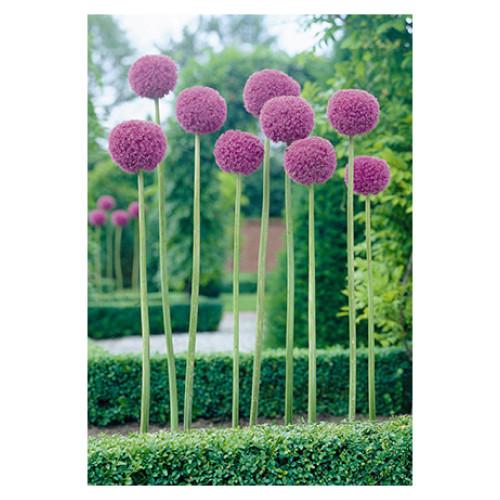 Allium giganteum 'Giant Allium'