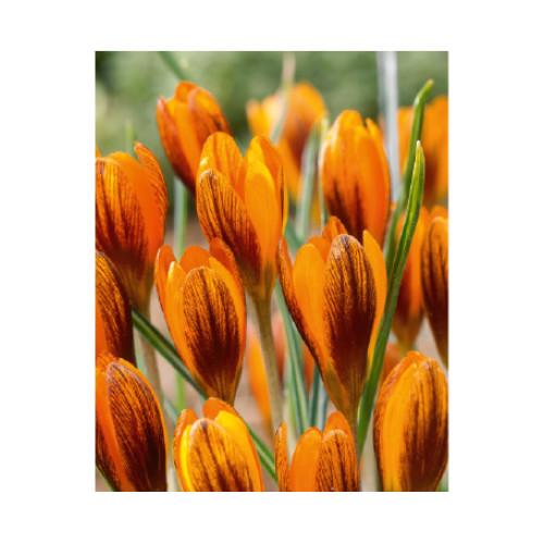 Crocus chrysanthus 'Orange Monarch'