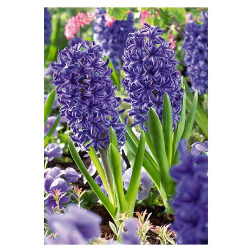 Hyacinth orientalis 'Blue Jacket'