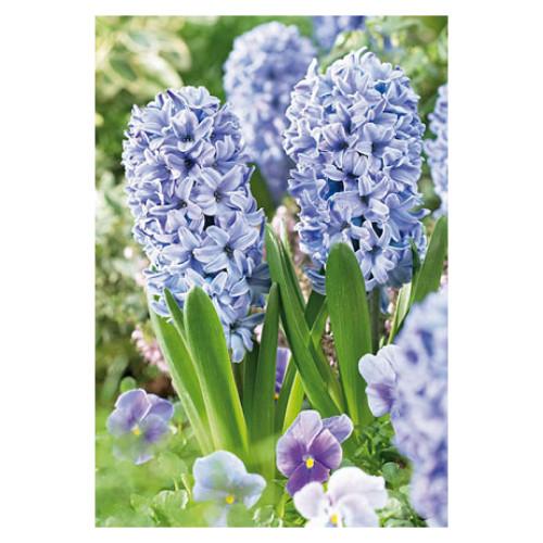 Hyacinth orientalis 'Delft Blue'