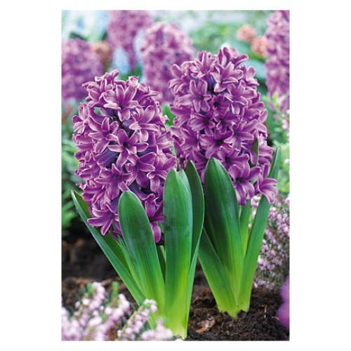 Hyacinth orientalis 'Miss Saigon'