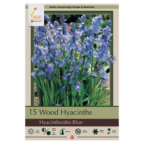 Hyacinthoides hispanica 'Wood Hyacinth Blue'