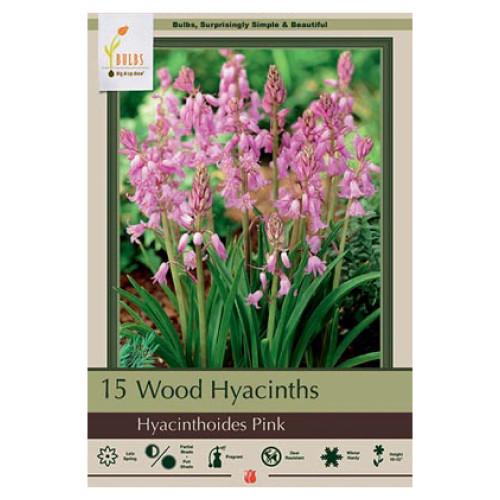 Hyacinthoides  hispanica 'Wood Hyacinth Pink'