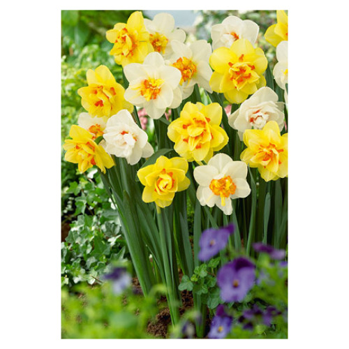Narcissus 'Double Flowering Mixture'