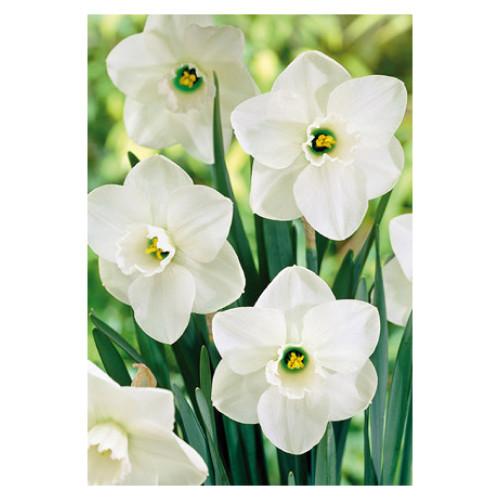 Narcissus 'Misty Glen'