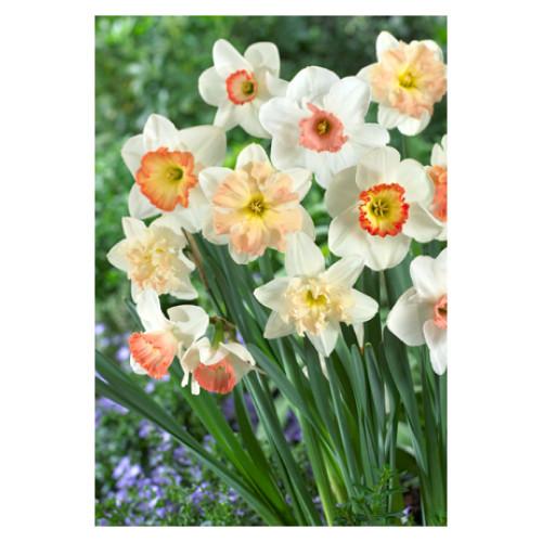 Narcissus 'Pink Mixture'