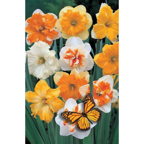 Narcissus 'Split Corona Butterfly Mixture'