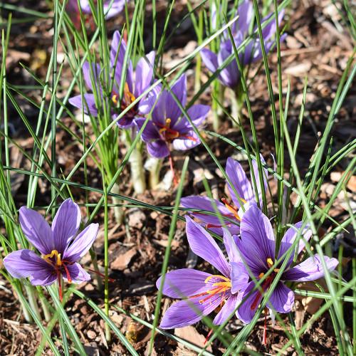 Crocus sativus 'Saffron'