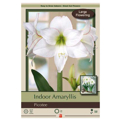 Amaryllis 'Picotee'