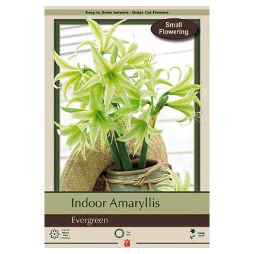 Amaryllis 'Evergreen'