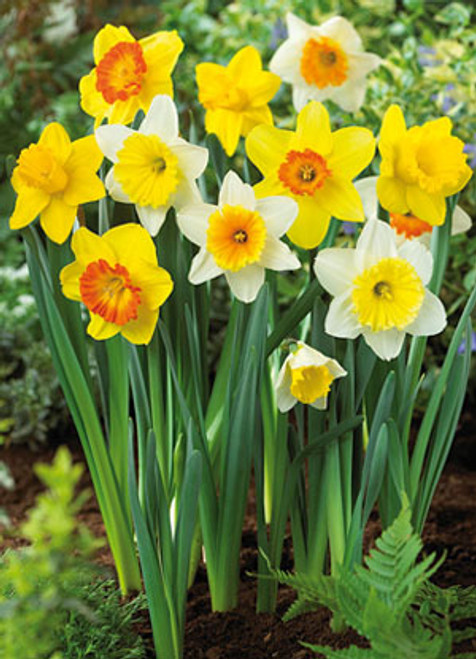Narcissus 'Large Cupped Mixture'