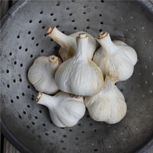 Seed Garlic - German Extra Hardy