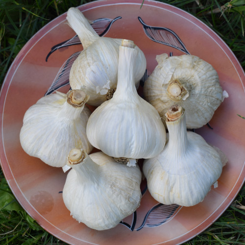 Seed Garlic - Montana Giant