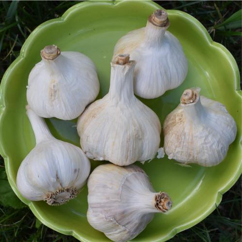 Seed Garlic - Music