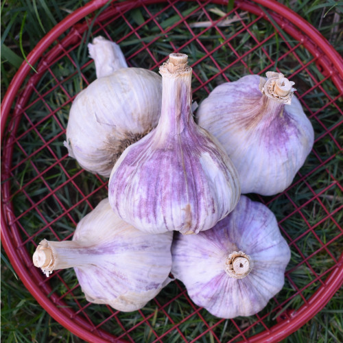 Seed Garlic - Chesnok Red