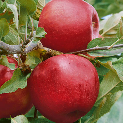Malus domestica 'Empire'