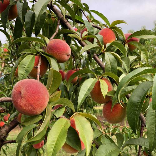 Prunus persica 'Contender'