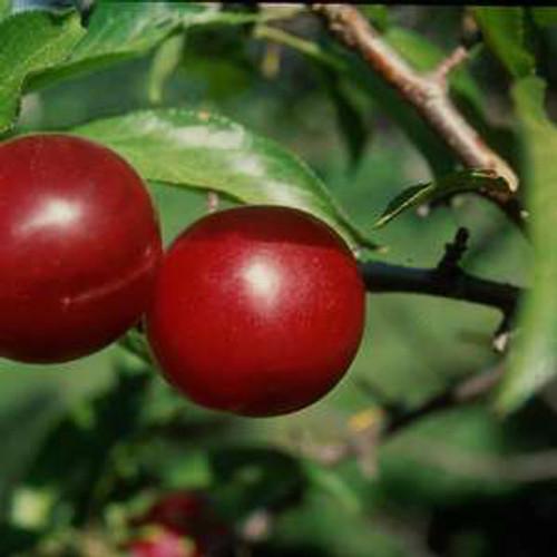 Prunus x 'Toka'
