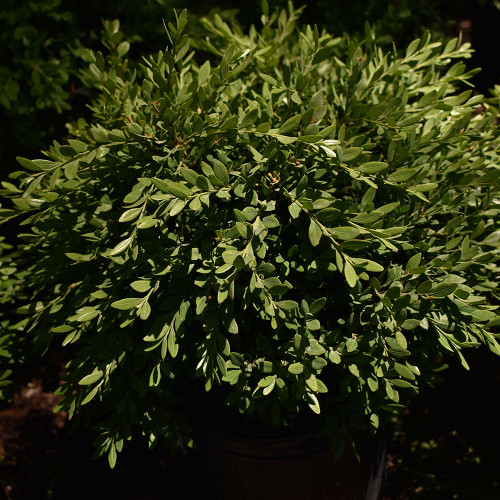 Buxus x microphylla 'Green Gem'