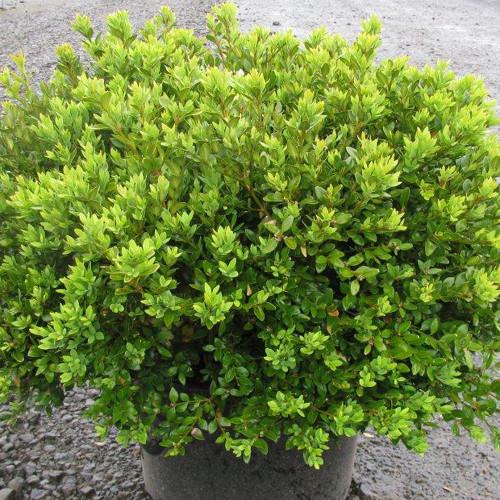 Buxus x microphylla 'Green Velvet'