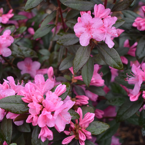 Rhododendron 'Aglo'