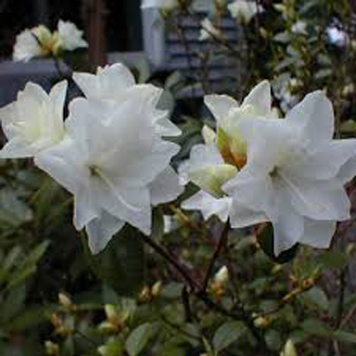 Rhododendron 'April Snow'