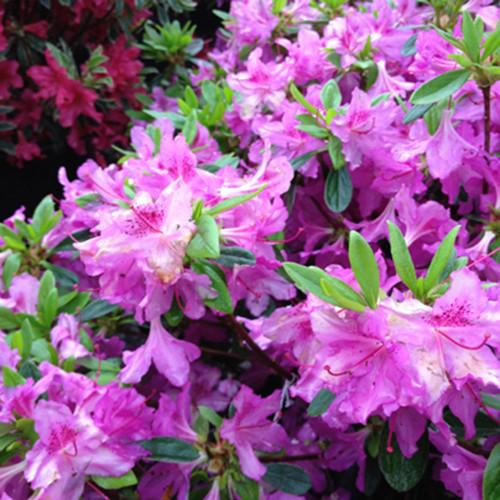 Rhododendron 'Karen'