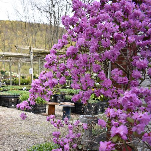Rhododendron 'PJM'