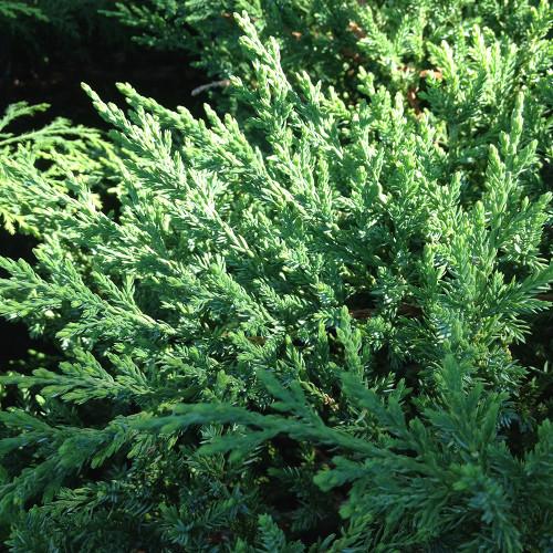 Juniperus chinensis sargentii