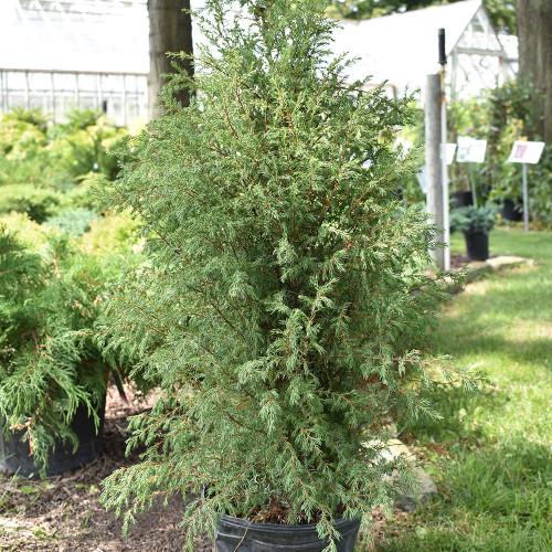 Juniperus communis 'Gnom'
