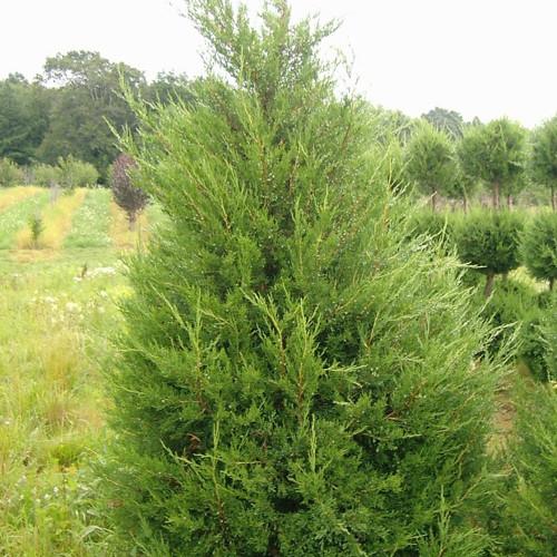 Juniperus chinensis 'Hetzi Columnaris'