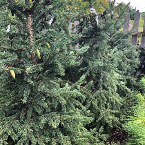 Picea glauca densata