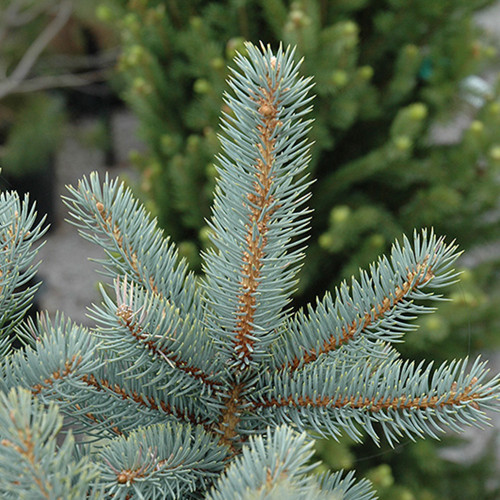 Picea pungens 'Bakerii'