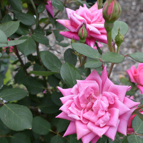 Rosa 'Double Pink Knockout'