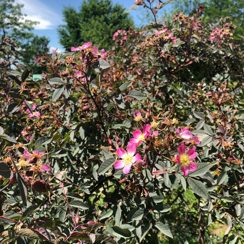 Rosa glauca 'Rubrifolia'