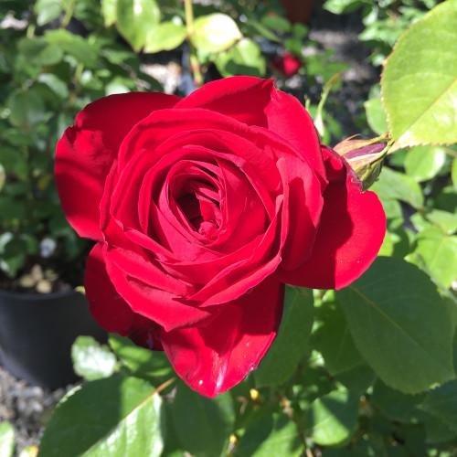Rosa 'Kashmir'