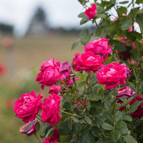Rosa 'My Girl'
