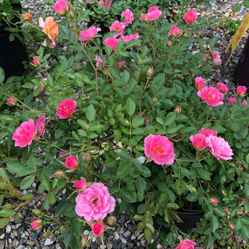 Rosa Oso Happy 'Petite Pink'