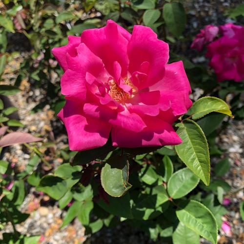 Rosa 'Zephirine Drouhin'