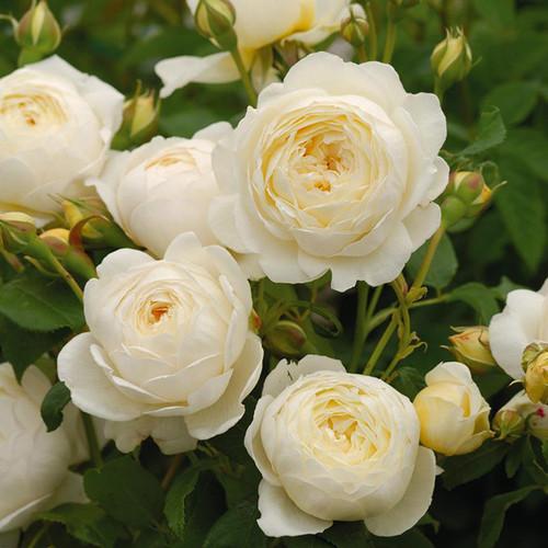 Rosa 'Claire Austin'