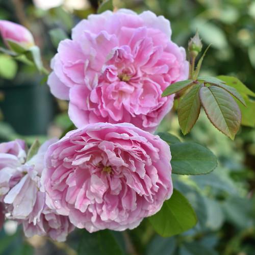 Rosa 'Harlow Carr'