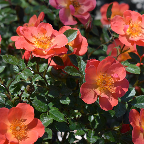 Rosa Oso Easy 'Hot Paprika'