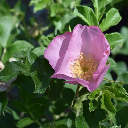 Rosa rugosa 'Frau Dagmar Hartopp'