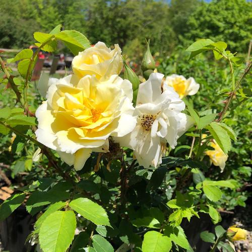 Rosa rugosa 'Topaz Jewel'