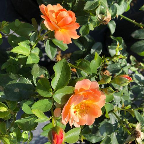 Rosa 'Sunorita'