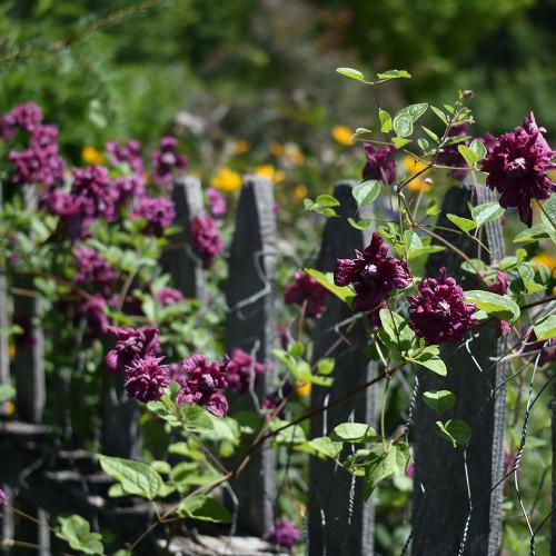 Clematis viticella purp. 'Plena Elegans'